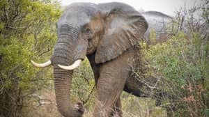 31 Elephants Facing Slaughter After Conservationist Is Killed By Herd