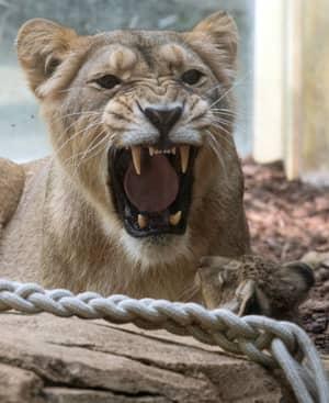 Bear Shot Dead As Lions, Tigers And Jaguar Escape German Zoo
