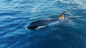 Yachtsman Relives Moment Orcas Tried To Eat Him