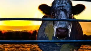 Seaspiracy Fans Are Being Urged To Watch Cowspiracy On Netflix