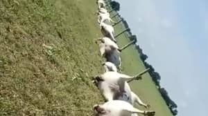 Video Shows Aftermath Of 23 Cows Killed By Lightning Strike