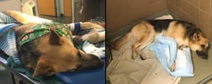 Hero Dog Fighting For Its Life After Taking Bites From Deadly Rattlesnake For Seven-Year-Old Girl