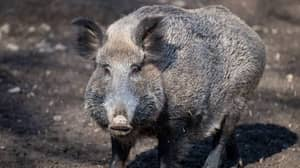 Wild Boars Snort £17,000 Worth Of Cocaine After Uncovering Drug Stash In Forest