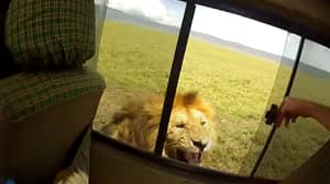 Tourist Leans Out Of Open Window To Pet Lion, Instantly Regrets It