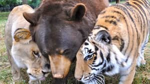 A Lion Who Lived In The Ultimate Bromance With A Tiger And Bear Has Sadly Died