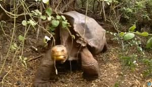 Sex Pest Tortoise Single-Handedly Saves His Species From Extinction