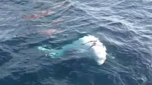 Whale Found Wearing Harness Could Be 'Russian Military'