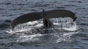 Holiday Company Offering Trip To Swim With Whales Under The Midnight Sun