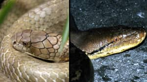 Epic Battle Between King Cobra And Python Leaves Both Dead
