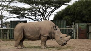 World's Last Male Northern White Rhino Honoured In Memorial Ceremony