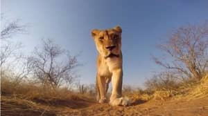 Young Lion Picks Up GoPro and Films His Walk Through Safari Park