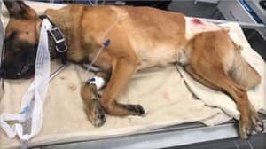 Hero Police Dog Who Took A Bullet Meant For An Officer Returns Home