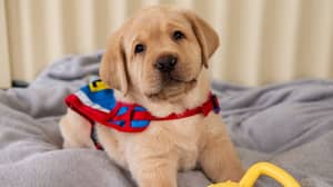 Assistance Dogs Australia Is Looking For People To Look After Their Puppies