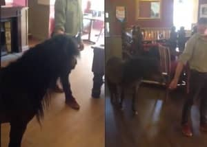 Shetland Pony Makes Ass Out Of Himself After Breaking Into Pub And Getting Pissed