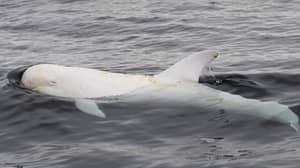 Incredibly Rare White Risso's Dolphin Named Casper Snapped In California