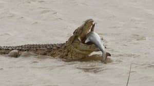 Photographer Captures Moment Huge 1,500lb Crocodile Eats Shark