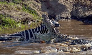The Moment A Zebra Fights Back And Bites An Attacking Crocodile