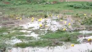 Bright Yellow-Skinned Bullfrogs Emerge In India After Heavy Rainfall