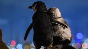 Photographer Captures Moment Two Widowed Penguins Enjoy Melbourne Skyline Together