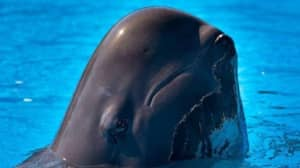 Pilot Whale Dies At SeaWorld Following 'Continued Health Issues'