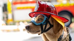 Ember The Crisis Response Dog Is Helping People Recover From Bushfire Trauma