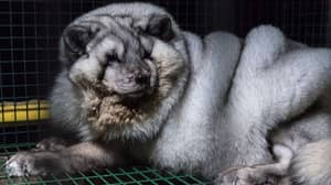 Arctic Foxes Kept In Cramped Cages Shame Fashion Industry