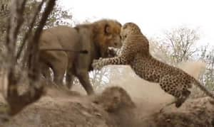 It's The Animal Scrap We've All Been Waiting For: Lion Vs. Leopard