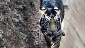 Amateur Photographer Captures Rare 'Black' Tiger In India