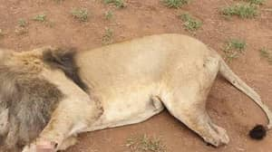 Poachers Kill Lions And Hack Off Body Parts At South African Ranch