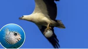 Sea Eagle Catches And Flies Off With Fully Inflated Puffer Fish