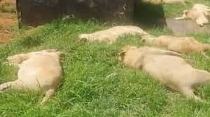 Poachers Poison 16 Lions Before Cutting Off Their Faces And Paws
