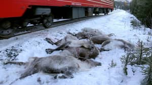 Loads Of Reindeer Have Been Killed In Just Four Days By Trains In Norway