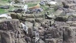 Shocking Footage Shows Seals Throwing Themselves Off Cliffs To Avoid Tourists