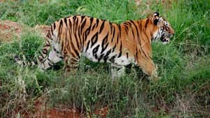 Threat Of Tiger Extinction Diminished As Numbers Could Actually Double