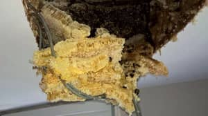 Couple Find Massive Bee Hive In Attic After Honey Starts Dripping Through The Ceiling