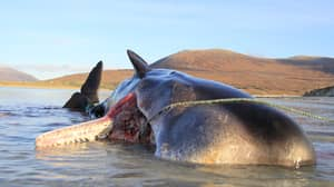 Dead Sperm Whale Found With 100Kg Ball Of Litter In Its Stomach
