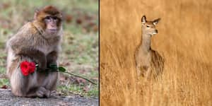 This Thirsty AF Monkey Trying To Have Sex With Deers Is Bizarre