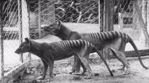 Bloke Is Adamant He's Seen A Tasmanian Tiger In Melbourne