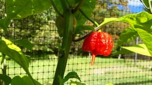 American Man Hospitalised After Eating The World's Hottest Chilli Pepper