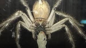 Huntsman Spider Devours Lizard As Family Eat Dinner