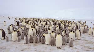 Second Largest Emperor Penguin Colony In Antarctica Has Been Wiped Out