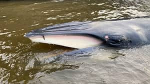 Baby Whale Stranded In The Thames To Be Euthanised To End Suffering