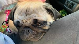 Pug Falls Ill After Eating Human Faeces 'Containing Magic Mushrooms'
