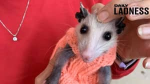 Knitters Donate Winter Wardrobe For Bald Opossum That Would've Died Of Cold