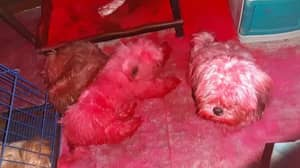 Cheeky Puppies Turn Themselves Completely Pink After Getting Into Make-Up Room