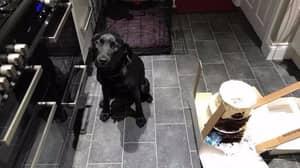 Adorable Labrador Caught Eating Three-Tier Wedding Cake Hours Before Ceremony