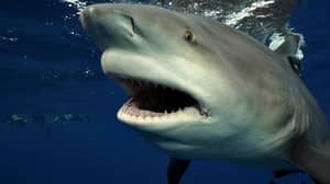 Diver Comes Face To Face With Gigantic Shark