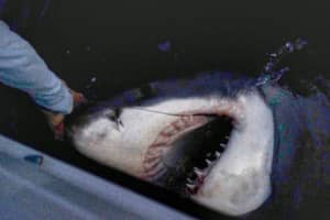 Lads Photograph Catch And Tag Of Massive 2500lb Great White Shark