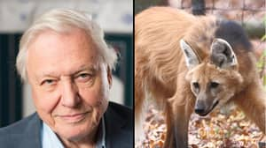 Sir David Attenborough Is Nails As He Reveals How He Wrestled A Wolf