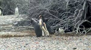 Penguin Puts Homewrecker On The Ropes After Finding Him Chirpsing His Wife
